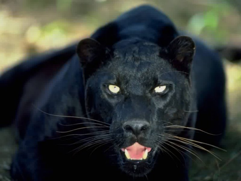 Scary panther