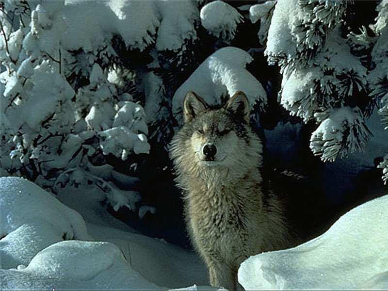 Snowy wolf