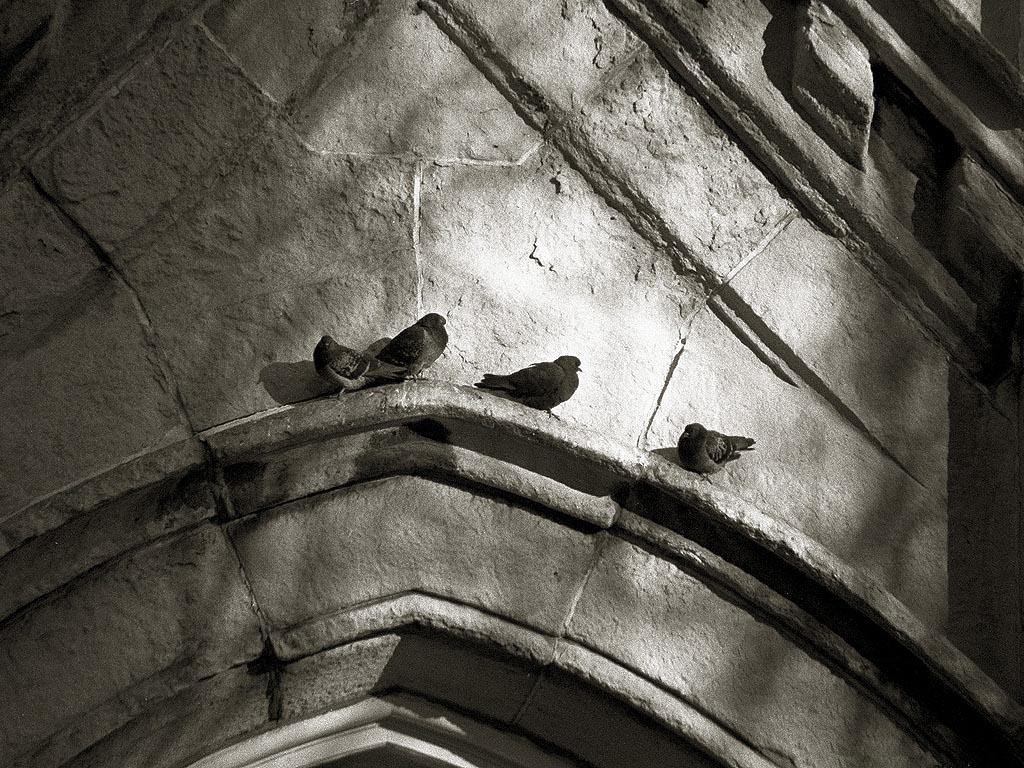 Chicago doves