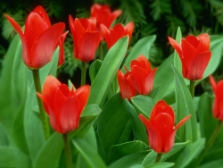 Flower Wallpaper - Tulip garden