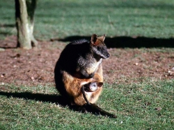 Animal Wallpaper - Wallaby
