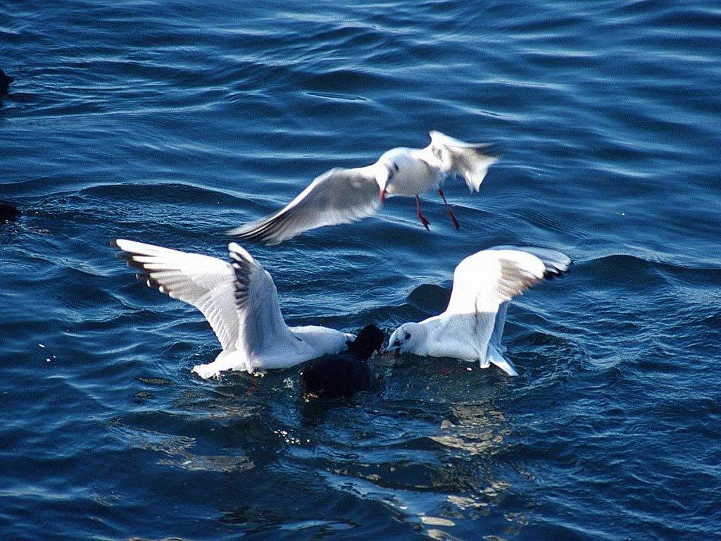 Seagulls & duck
