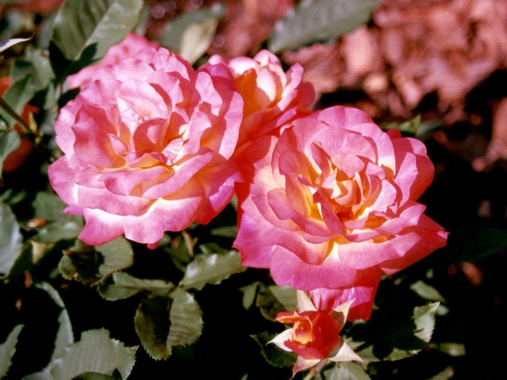 Rose Brigadoon