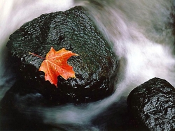 Nature Wallpaper - Single maple leaf