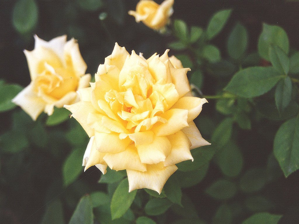 Yellowe roses