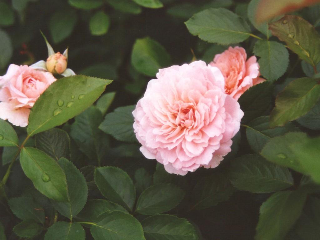 Sprig of pink rose