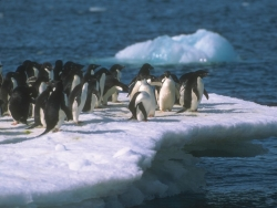 Animal Wallpaper - Penguin Gathering