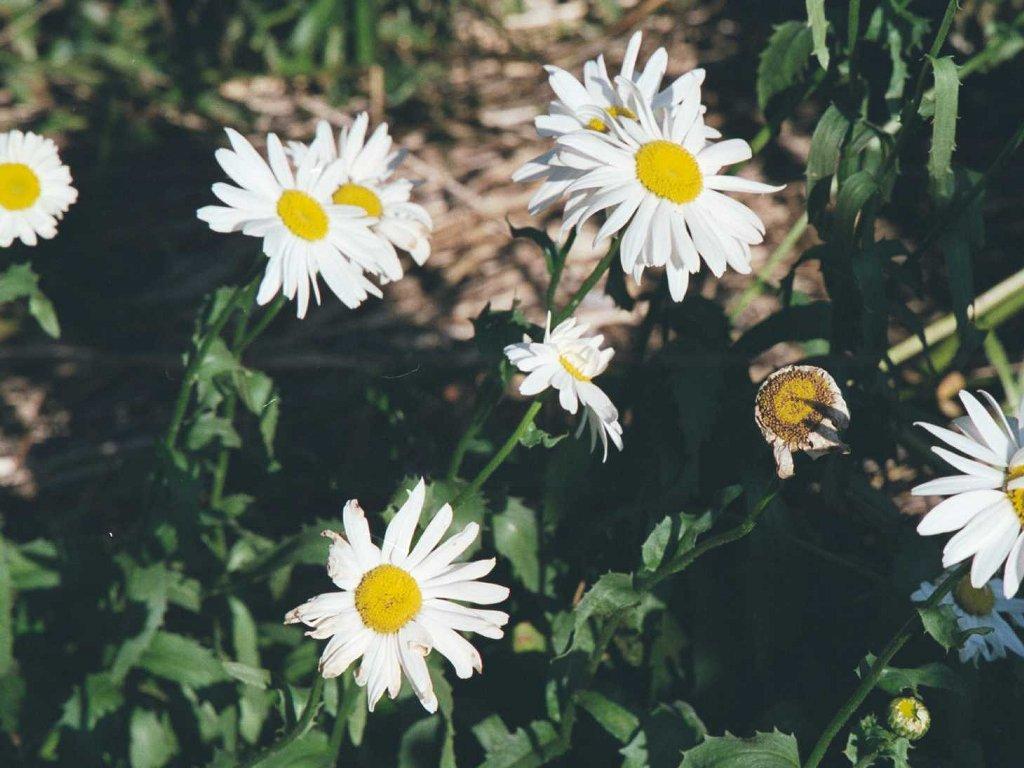 Chrysanthemum superbum