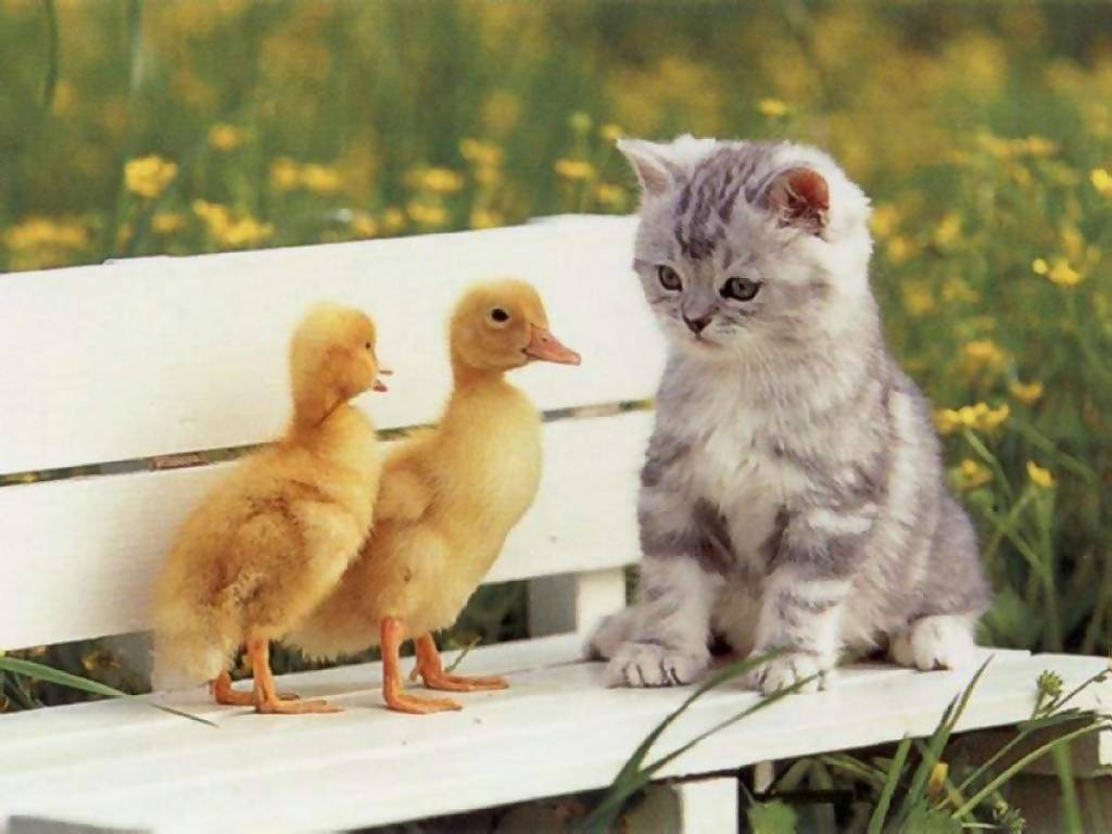 Cat & duckling
