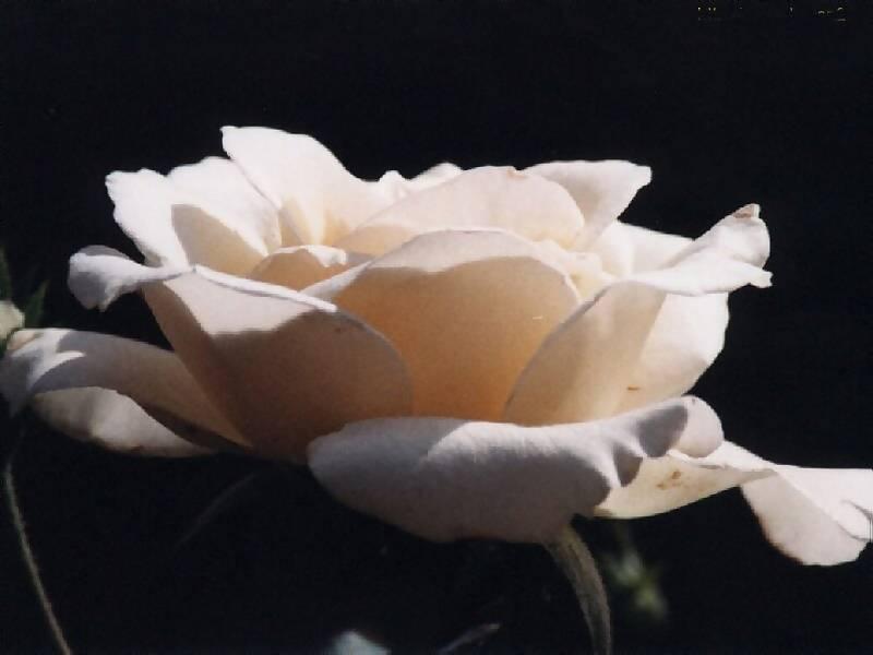 Blossom white rose