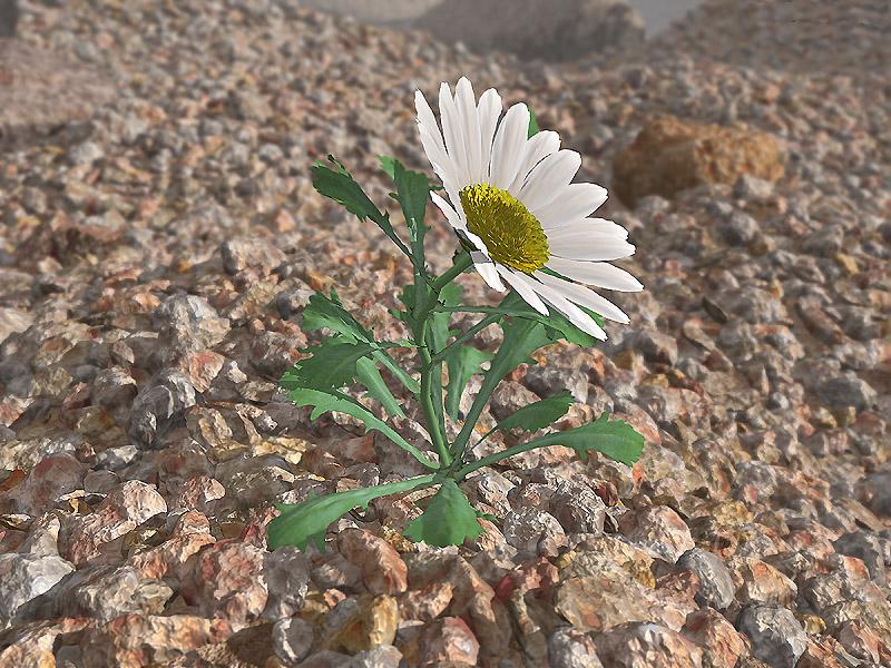 Desert' daisy