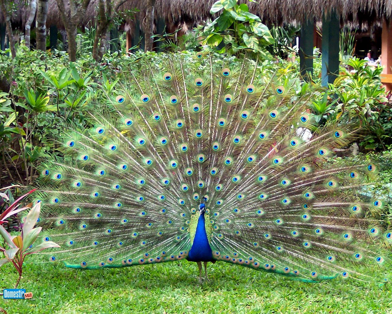 Peacock pavone