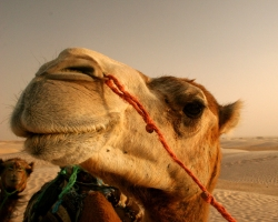 Animal Wallpaper - Camel camila