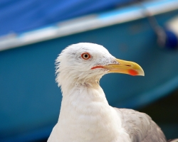 Animal Wallpaper - Pasare Seagull
