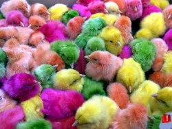 Funny Wallpaper - The colourful chicken