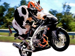 Funny Wallpaper - Cow raider