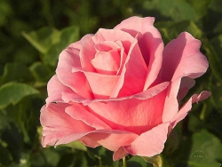 Flower Wallpaper - Romantic rose