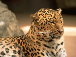Animal Wallpaper - The jaguar