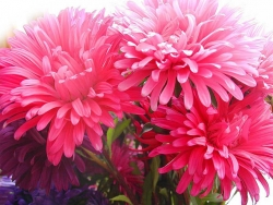 Flower Wallpaper - Pink Chrysanthemum