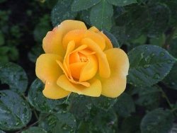 Flower Wallpaper - Yellow rose