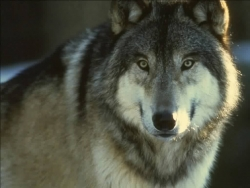 Animal Wallpaper - Grey Wolf