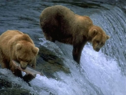 Animal Wallpaper - Bears catch fishes