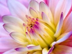 Flower Wallpaper - Violet Chrysanthemum