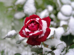 Flower Wallpaper - Winter rose