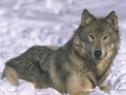 Animal Wallpaper - Snow fox