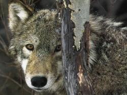 Animal Wallpaper - Little wolf