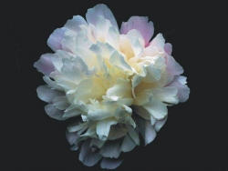 Flower Wallpaper - White carnation