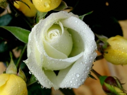 Flower Wallpaper - White rose