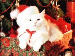 Animal Wallpaper - Xmas cat