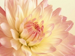 Flower Wallpaper - Pink dahlia