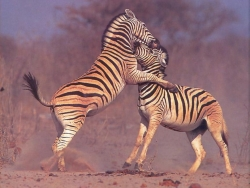 Animal Wallpaper - Zebra couple
