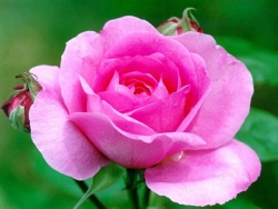 Military Wallpaper - Pink rose