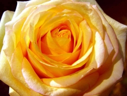 Flower Wallpaper - Blossom yellow rose