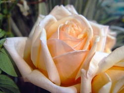 Flower Wallpaper - Light orange rose