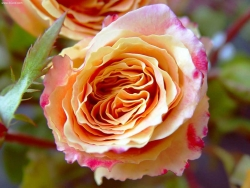 Flower Wallpaper - Pink and yellow rose