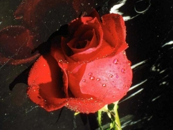 Flower Wallpaper - Rose in the rain