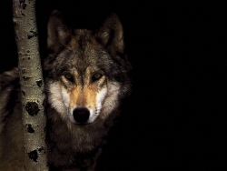 Animal Wallpaper - Shy wolf