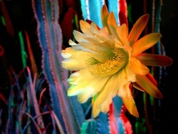 Flower Wallpaper - Phyllocactus