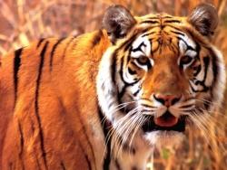 Animal Wallpaper - Funny tiger