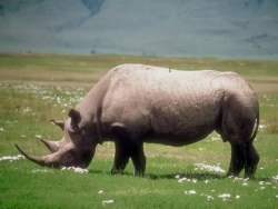 Animal Wallpaper - Rhinoceros
