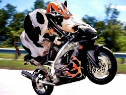 Funny Wallpaper - Cow rider