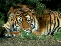 Animal Wallpaper - Taciturn tiger