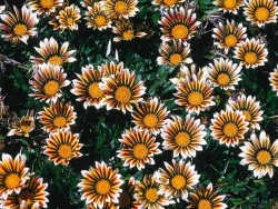 Flower Wallpaper - Chrysanthemum field