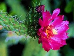 Flower Wallpaper - Cactus flower