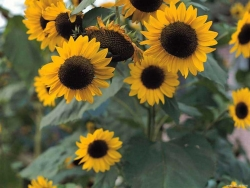 Flower Wallpaper - Wild Sunflower