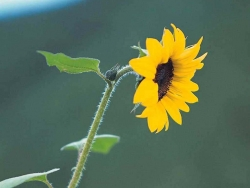 Flower Wallpaper - Sunflower